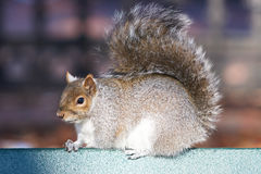 Grey squirrel sitting under the sun on the bench in the park Royalty Free Stock Image