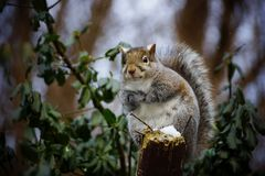 Grey Squirrel. A grey squirrel sitting on the wood with nails Royalty Free Stock Photos