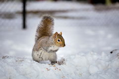 Grey Squirrel in the snow, Lachine, Montreal, Quebec,  Canada. Stock Photography