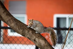 Grey Squirrel in the snow, Lachine, Montreal, Quebec,  Canada. Royalty Free Stock Photo