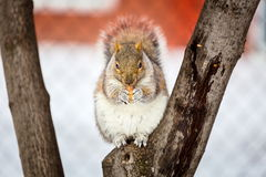 Grey Squirrel in the snow, Lachine, Montreal, Quebec,  Canada. Royalty Free Stock Photography