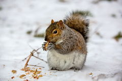 Grey Squirrel in the snow, Lachine, Montreal, Quebec, Canada. The eastern gray squirrel has predominantly gray fur, but it can have a brownish color. It has a royalty free stock photos