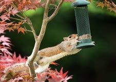 Grey Squirrel som äter från en fågelförlagematare fotografering för bildbyråer
