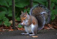 Grey Squirrel som äter hasselnöten Arkivbilder
