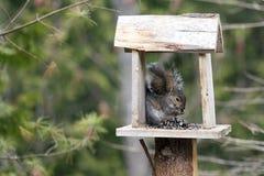 Grey Squirrel sous la couverture sous la pluie Photo libre de droits