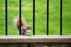Grey Squirrel. A grey squirrel standing in the fence in a park stock photos