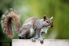 Grey Squirrel. A grey squirrel standing in the fence in a park royalty free stock image