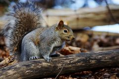 Grey Squirrel. A grey squirrel standing on a log Stock Images