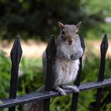 Grey squirrel standing on a railing in a park. Grey squirrell standing on a rail looking around for something interesting Stock Photography