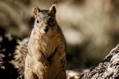 Grey squirrel standing up royalty free stock image
