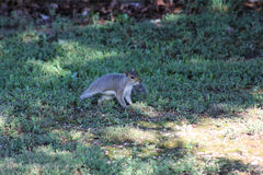 Grey Squirrel Starting to Run. After being startled by the photographers camera shutter in the morning Royalty Free Stock Image