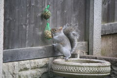 Grey Squirrel. Stealing the Bird Food Royalty Free Stock Photo