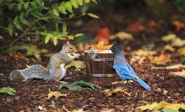 Grey Squirrel and Steller`s Jay Sharing stock photo
