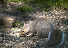 Grey Squirrel su terra Fotografia Stock
