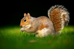 Grey squirrel in sunset Stock Images