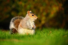 Grey squirrel in sunset Stock Photo