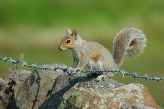 Grey Squirrel sur le barbelé Photos libres de droits