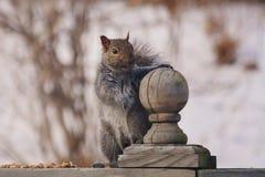 Grey Squirrel sveglio ed ingannante un giorno di inverno Fotografia Stock