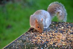 Squirrel eating seeds from a table royalty free stock photo