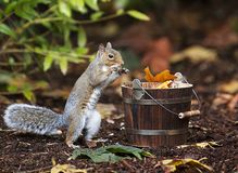 Grey Squirrel Taking Peanut from Wood Bucket royalty free stock photography