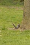 Grey squirrel Royalty Free Stock Photos