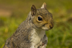 Grey squirrel Stock Photos