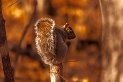 Grey squirrel on top of a branch. 1 Stock Photo