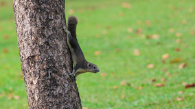 Grey Squirrel On trädet Arkivbilder