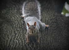 Grey Squirrel on a tree Royalty Free Stock Photo