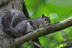 Grey squirrel at tree Royalty Free Stock Images