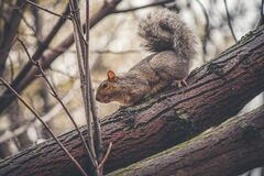 Grey Squirrel on Tree Branch Royalty Free Stock Photography