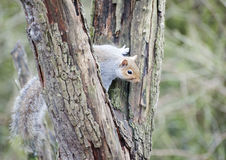 Grey Squirrel in Tree. A Grey Squirrel climbing a tree as it searches for food royalty free stock images