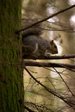 Grey squirrel on a tree Royalty Free Stock Photography