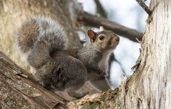 Grey Squirrel in a Tree stock photography