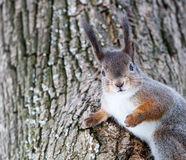 Grey squirrel on tree Royalty Free Stock Image
