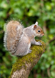 Grey Squirrel on tree stump Stock Image