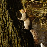 Grey Squirrel on Tree Trunk Royalty Free Stock Photos