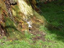Grey Squirrel in Tree Trunk. Grey Squirrel poking out from base of tree trunk Stock Images
