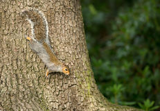 Grey Squirrel on a tree stock images