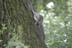 A Grey Squirrel on a tree in the UK Royalty Free Stock Images