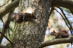 Grey squirrel Stock Images