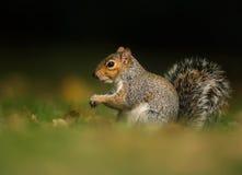 Grey Squirrel in un prato Immagini Stock Libere da Diritti