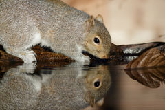 Grey Squirrel Royalty Free Stock Photography