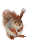 Squirrel, Royalty Free Stock Photo