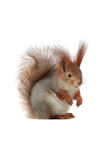 Squirrel, Royalty Free Stock Image