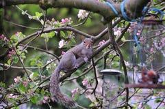 Grey Squirrel. Stock Image