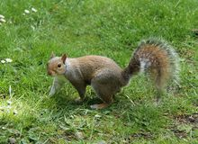 Grey Squirrel. Stock Images