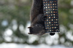 Grey Squirrel In Winter. A grey squirrel hangs from a peanut feeder Royalty Free Stock Photo