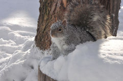 Grey Squirrel In Winter. A grey squirrel on a snowy winter day Royalty Free Stock Photography