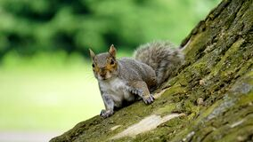 Grey Squirrel on Wooden Trunk during Daytime Royalty Free Stock Photo